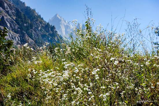 White flowers in the mountains